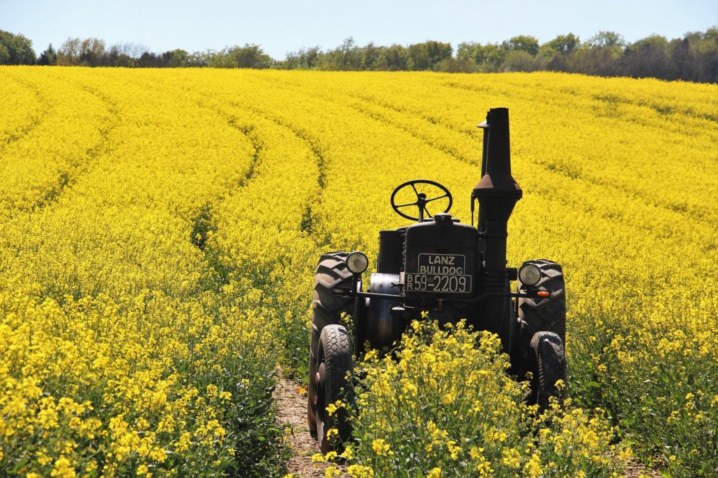 Canola Field with old tractor